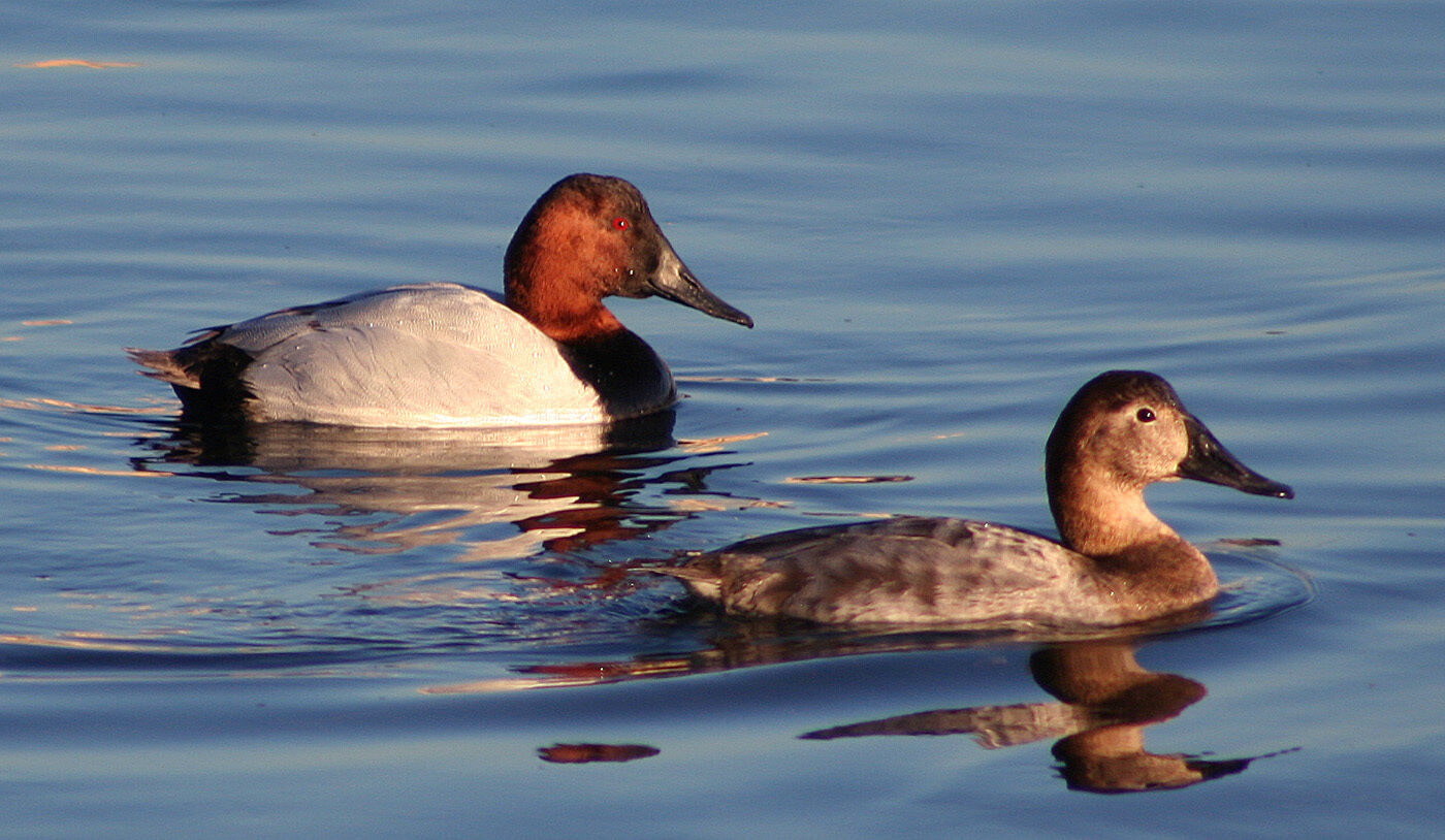 Canvasback Chesapeake Collections