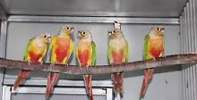 CHEAP Green Cheeked Conures. Tamborine Ipswich South Preview