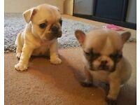 French Bulldog kc registered pedigree