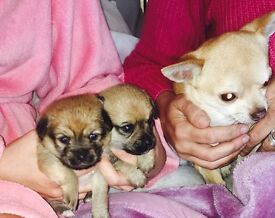 2 female Chihuahua puppies