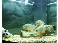 big Piranhas for sale
