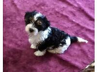 Pedigree Biewer Yorkshire terrier pups.