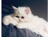 GCCF registered Persian kittens for sale