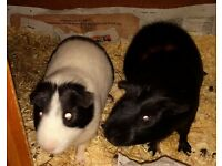 Two Guinea Pigs looking for a new home