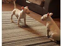 Female kc reg english bull terrier puppy for sale
