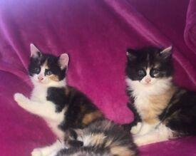2 x female kittens for sale
