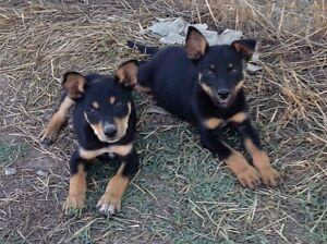 Purebred Kelpie Pups Tarrawingee Wangaratta Area Preview