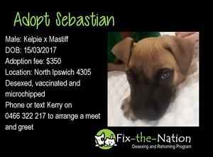Adopt Sebastian - Mastiff x North Ipswich Ipswich City Preview