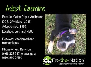Adopt Jasmine - Cattle Dog x Wolfhound Leichhardt Ipswich City Preview