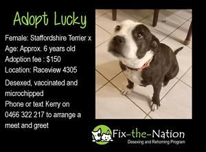 Adopt Lucky - Female Staffy x Ipswich Ipswich City Preview