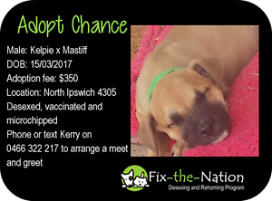 Adopt Chance - Mastiff x Raceview Ipswich City Preview