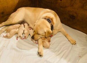 Registered Labrador Pups for Sale