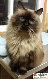 "Senior Female Cat - Himalayan: ""Angel Cake"""