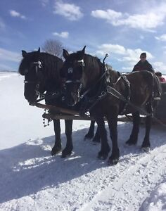 Register Percheron team with harness and sleigh