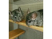 Chinchillas for sale (male and female pair)