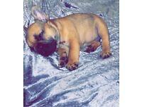 French bulldog pup (male)