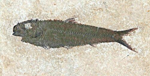 Fossil Fish, Knightia eocaena, GRF, Wyoming, U.S.A.