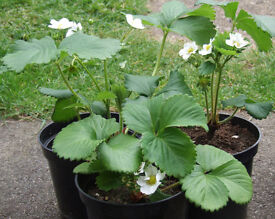 """Strawberry Plants 1.5Lt 15cm 6"""" Pots at £1.50 each NOW IN FLOWER WITH FRUIT"""