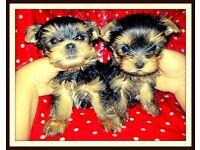 Тwo small puppies