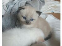 3 beautiful ragdoll boys remaining