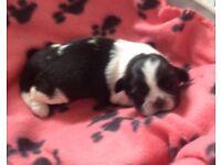 Shin-tzu puppies for sale