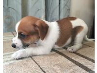 3x Boy Jack Russell Puppies - READY