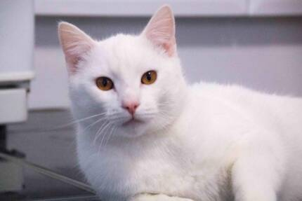 Male - Rescued Cat Maryland 2287 Newcastle Area Preview