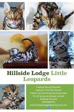 Pure Pedigree Bengals | Registered Breeder | Australia's Best Pets! Glenorie The Hills District Preview