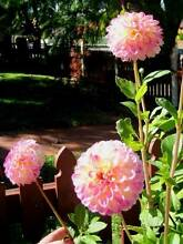 Pink Dahlia Plant ( Ball Shaped ! ) Eastwood Ryde Area Preview