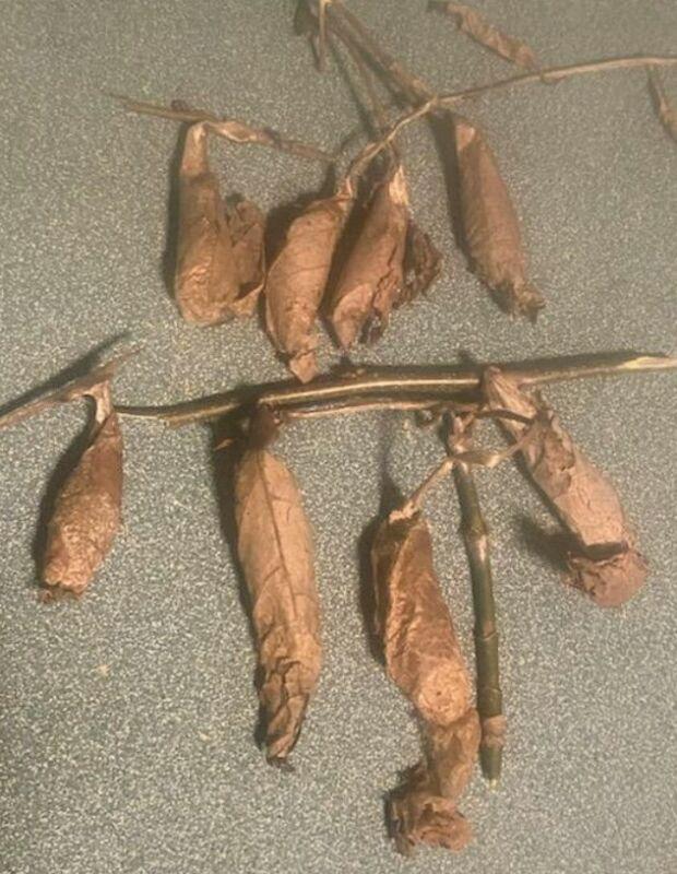 (8) Live Wild Promethea Moth Cocoons Lot