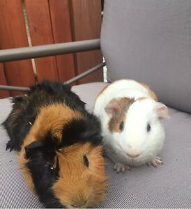 2 Guinean pigs  sold