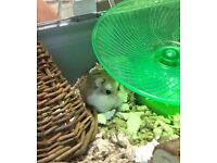 Roborovski Hamster with cage. FREE to a good home!