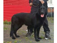 pure black german shepherd male
