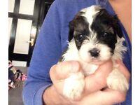 Toy shih-poo puppies toy poodle x shihtzu
