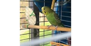 1 female budgie for sale with cage and supplies obo