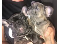 2 Beautiful French Bulldog Puppies! Ready Now!!!