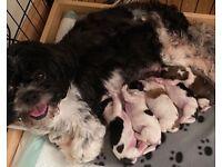 Shih Tzu puppies KC Registered