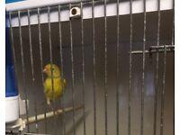 Waterslanger canary cock bird