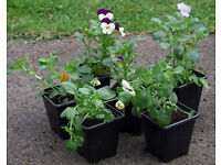Winter Flowering Viola's Assorted Colours in 7cm Pots at 50p each