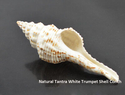 Vajrayana Buddhist Offering Natural Tantra White Trumpet Shell Conch Collectible ()
