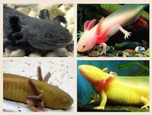 Axolotls / Mexican Walking Fish WANTED Adelaide CBD Adelaide City Preview