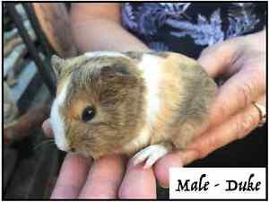 Baby Guinea Pigs Oak Flats Shellharbour Area Preview