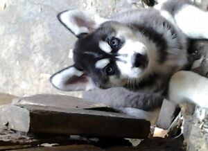 husky male puppy