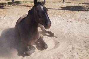 PERCHERON/PAINT GELDING, HORSEMANSHIP TRAINED, SUIT LEARNER/BEGIN Maryborough Fraser Coast Preview