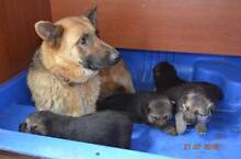 Pure breed German Shepherd puppies, 2 boys and 3 girls. Baulkham Hills The Hills District Preview