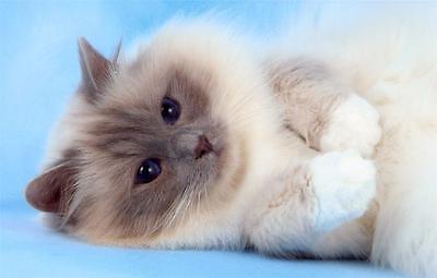 Cute Birman Kitten Glossy Poster Picture Photo Cats Kitty Kitties Decor Wall 506