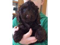 Miniature Cockapoo pups