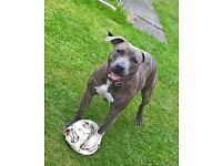9 month male blue brindle staffie