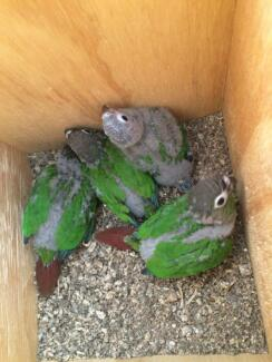 green cheek conures Two Wells Mallala Area Preview