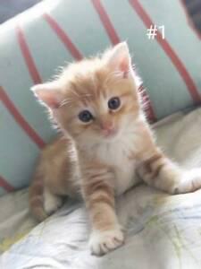 Ragdoll cross male kittens